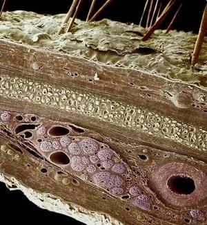 Човешката кожа под микроскоп (разрез)